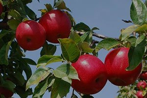 Apple Availability at Sunrise Orchards