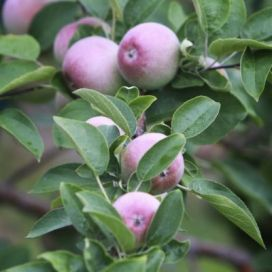 Apples growing on the trees