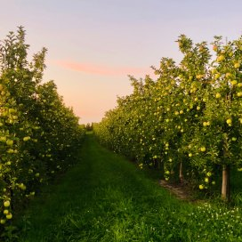 Golden Delicious apples at Sunset, Sunrise Orchards in Gays Mills, WI