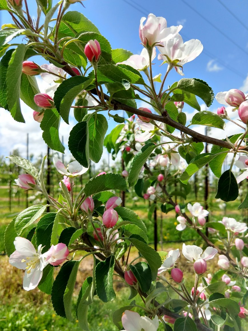 When are Sunrise Orchards Apples in Blossom?