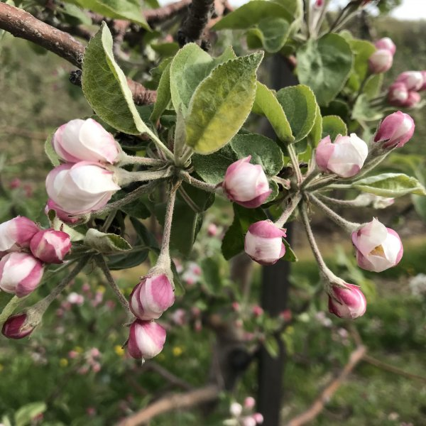 APPLE BLOSSOM UPDATE