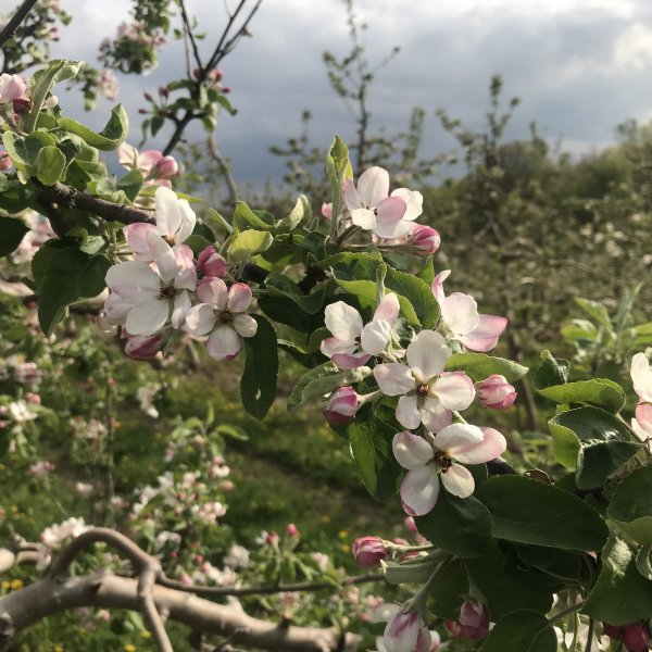 Apple Blossom Update for Friday May 15th