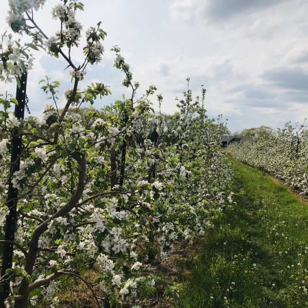 Sunday May 17th Apple Blossom Update