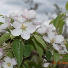 Apple trees blossoming May 2020