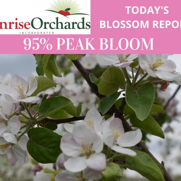 Tuesday May 19th Apple Blossom Update