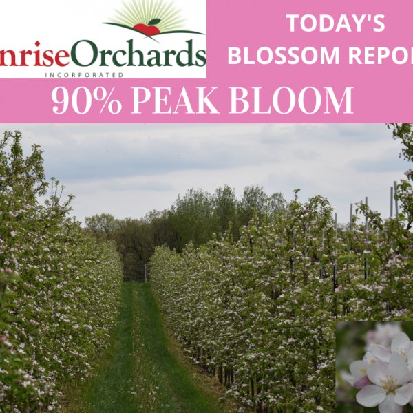 Monday May 18th Apple Blossom Update