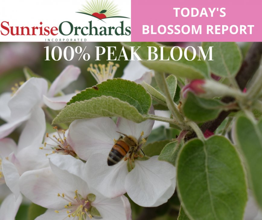 Wed. May 20th Apple Blossom Update